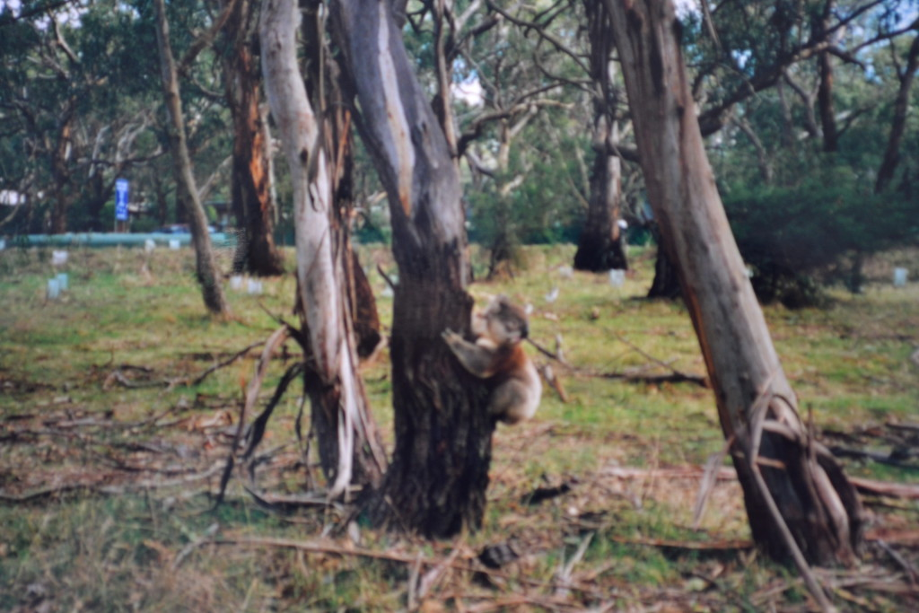 Australia reisetips reise koala