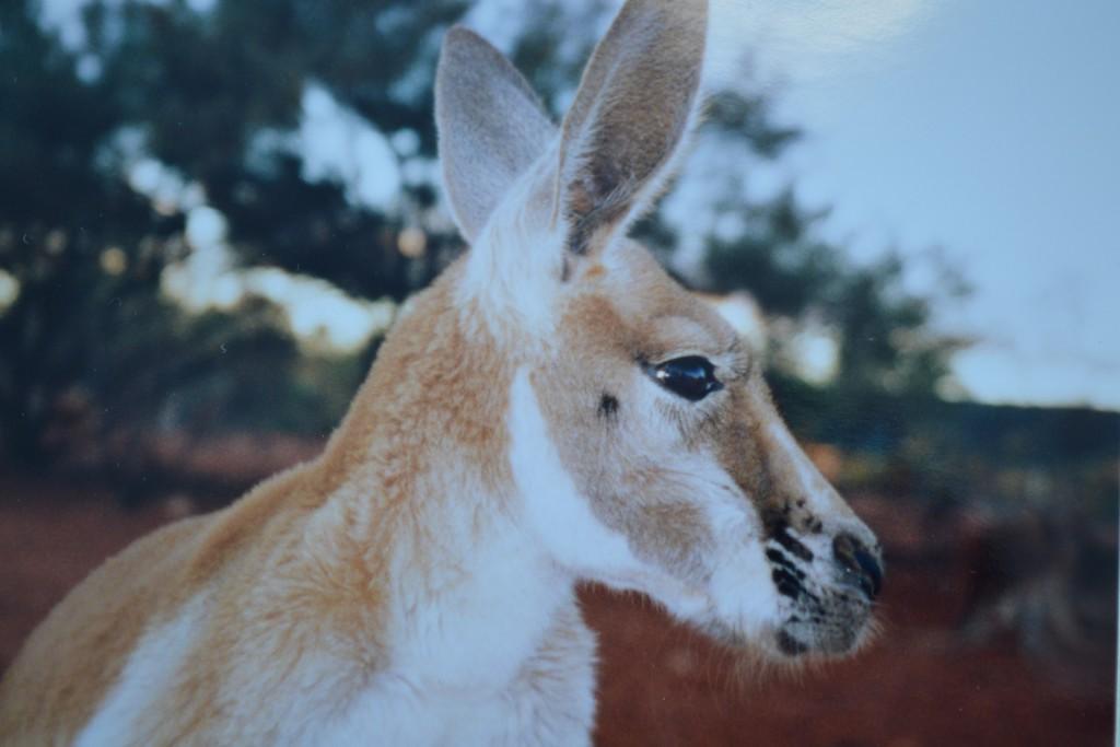 Kenguruene australia reisetips