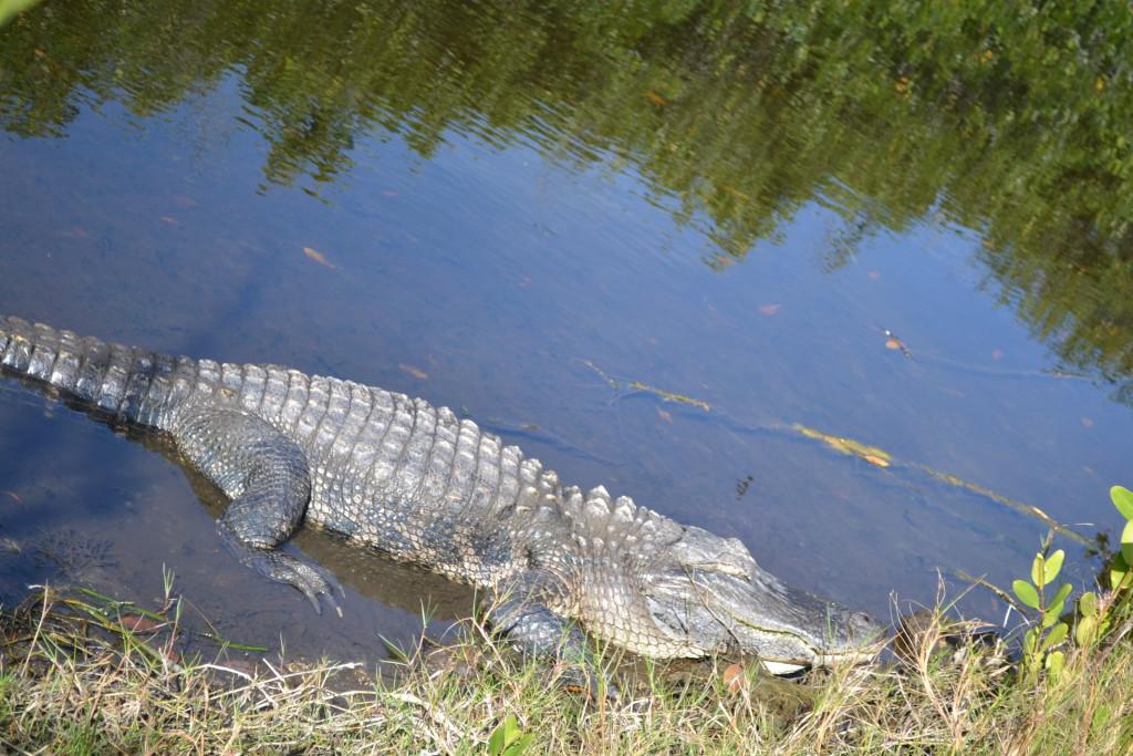 Reisetips for familier, barn og voksne - Alligator Florida USA